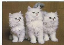 Animals Postcard - Cats - Three White Cats Sitting Down   AB1821