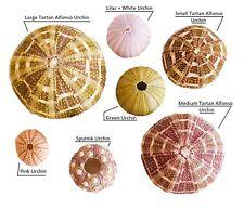 REAL Sea Urchins Tillandsia Support, Decor PURPLE, GREEN, PINK, SPUTNIK, TARTAN