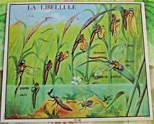Old Map Carte Expo Évolution de la Larve à la Libellule Insecte Parfait la Mare
