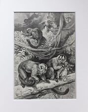 Douroucolis Night Monkey - Antique Victorian B/W Print, Wood Engraving, Mounted