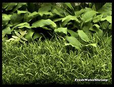 Live Aquarium Plants / Lilaeopsis Brasiliensis / Micro sword / Carpeting plant