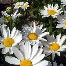 50+ Chrysanthemum Shasta Daisy Perennial Flower Seeds / Deer Resistant/ Gift