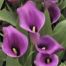 PURPLE REGAL Calla Lily 100 x seeds