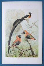 Original 1896 Natural History 6.5x10 Chromolithograph WEAVER BIRDS