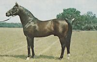 "*Florida Postcard-""Rough'N' Tumble"" /Florida's Leading Stallion/ (U1-104)"