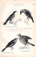 1880 Stampa ~ Naturale Storia ~Passeres~ Crociere Ortolan Skylark Piranga