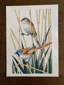 ORIGINAL 1947 Vintage TUNNICLIFFE Bird Art Print HEN COCK BEARDED TIT