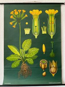Original Vintage 1969 Jung Koch Cowslip School Chart - Botanical Cowslip Poster