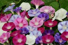 Flower - Kings Seeds - Ipomoea purpurea - Lazy Luxe Mixed - 60 Seed