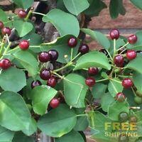 Edible Fruits #Fruit Prunus cerasus Dwarf Sour Cherry Fruit Tree 15 Seeds