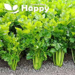 CELERY UTAH - 3000 SEEDS - Vegetable seeds - Apium graveolens - AUTUMN CROP