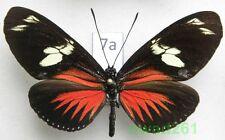 Heliconius doris transiensis Costa Rica 66mm7a