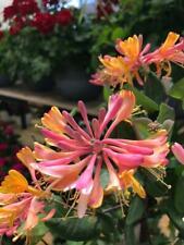 Japanese honeysuckle 15 Seeds (Lonicera japonica)Masses of highly scented flower