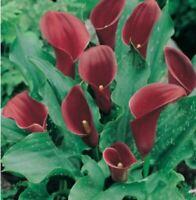 CALAS ROJO BULBO Lily Seed lirio agua Zantedeschia aethiopica semillas calla