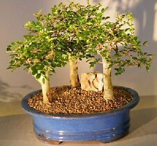 Chinese Elm Bonsai Tree - Aged Three Forest Group (ulmus parvifolia)