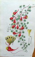 THREE COLOURED INDIAN CRESS Curtis Engraved Antique Botanical Vintage Print 1832