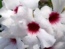 8 graines de BIGNONE BLANCHE(Pandorea Jasminoides)G70 BOWER VINE SEEDS SEMILLAS