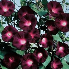 Morning Glory Ipomoea purpurea ~ Kniolas Black Knight *Darkest Morning Glory*