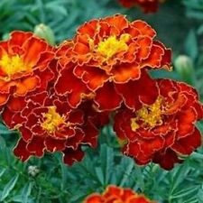 Marigold Double Red Flower Seeds (Tagetes Patula) 50+Seeds