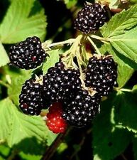 5 LIVE PLANT WILD SOUTHERN BLACKBERRY EDIBLE FRUIT BUSH RUBUS FRUTICOSUS BRAMBLE