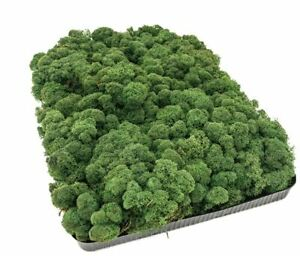 Reindeer Moss, Dark Green, Preserved Product - Approximately 0.5 square metres