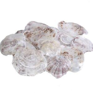 Muschel Placuna - Perlmuttscheiben - Echt - ca. 8 - 14 cm - 1 VE = 1kg - 28560