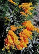 West Australian Christmas Tree Seed Small Drought Tolerant Evergreen - Nuytsia