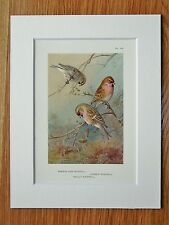 ARCHIBALD THORBURN-redpolls-montato VINTAGE 1920 S Bird Print (42)