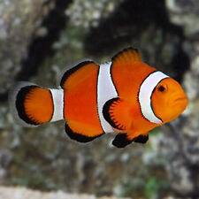 CLOWN FISH Orange and Whites MARINE AQUARIUM FISH