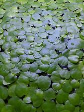 New listing 20 Amazon Frogbit Live Floating Plants for Aquarium or Pond Limnobium Laevigatum