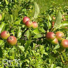 WILD CRAB APPLE (Malus Sylvestris) 30+EXTRA seeds (#512)
