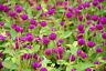 Schmettelinge lieben die bunten Blüten des Kugelamarant.