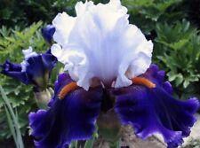 2 Rhizone Of Dramatic Style Tall Bearded Iris
