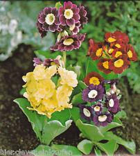 Gartenprimel Primula pubescens Aurikel Bunte Mischung ca. 300 Korn mehrjährig