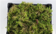 Fresh Sphagnum Moss, 1kg bag, Floristry, topiary, crafts, soil cover, amphibian