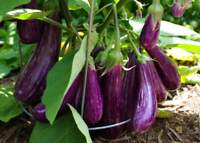 Long Purple Italian Eggplant Seeds, Fingerling, NON-GMO, FREE SHIPPING