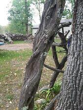 Gigantic 8'- foot Diamond willow limb