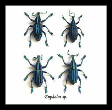 Beetles taxidermy collection for sale Framed bugs  Eupholeus bennetti BAE4