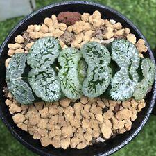 5CM Succulents Plant XUANWU Truncata Haworthia Liliaceae Home Garden Pot
