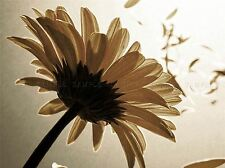 FLOWER PETAL SEPIA NATURE STEM WIND POSTER ART PRINT HOME PICTURE BB37A