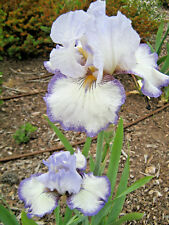 Tall Bearded Iris POINT IN TIME (bare rooted rhizome)