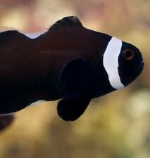 "2""+ Extreme Misbar Salt Water Clownfish Black.Tank Raised Best Quality Limited."