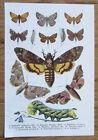 Schmetterlinge Butterflies - Alter Farbdruck 1912 Druck Bild Old Print #7