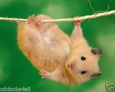Hamster / Gerbil 8 x 10 GLOSSY Photo Picture IMAGE #2