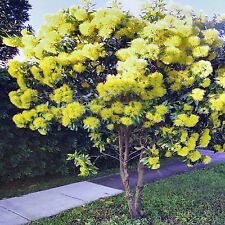 GOLDEN PENDA SEEDS XANTHOSTEMON CHRYSANTHUS FLOWERING COMPACT TREE 60 SEED PACK