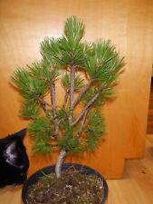 11 Year Old Informal Upright Japanese Black Pine 5/8 Inch Nebari Trunk Bonsai