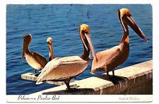 Pelican, a Peculiar Bird - USA Postcard