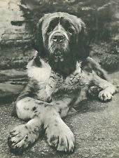Saint Bernard Dog Crosses His Paws Vintage 60 year-old Full Page Photo Print