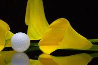 ** Zandetedeschia aethiopica , die gelbe Calla wunderschöne Zierpflanze.