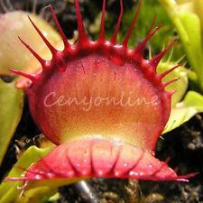 40 VENUS FLY TRAP Dionaea Muscipula CARNIVOROUS Flower Seeds Planting 4 Season
